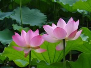 lotus 1903a0d9-4a3c-4fd6-ac3c-02b45f0eb8b3